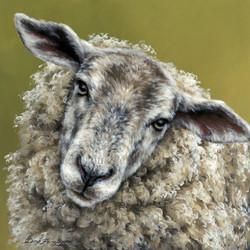 'Inquisitive Ewe'