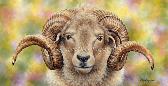 'Portland Ram Heathcliff'