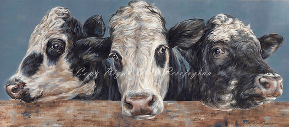 'Friesian Cross Devon Cows'