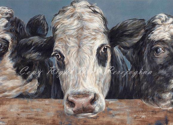 Friesian Cross Devon Cows