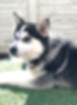 Pomsky Stud Pomsky Puppy
