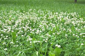 white Clover-in-Lawn.jpg