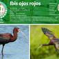08_ibis.jpg