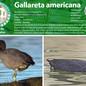 03_gallareta.jpg