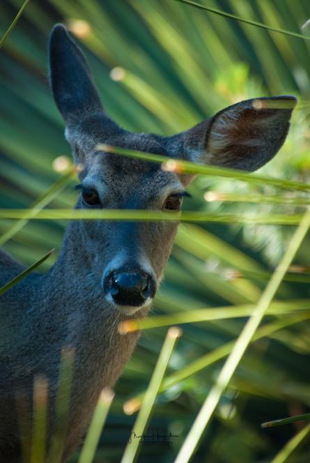 Deer through the bushes