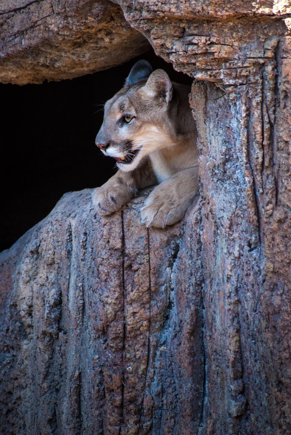 Cougar crevice