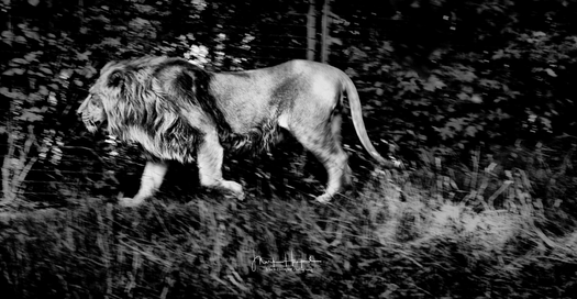 Lion on the prowl
