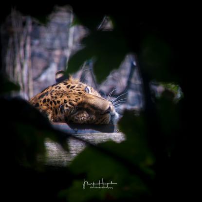 Jaguar through the bushes