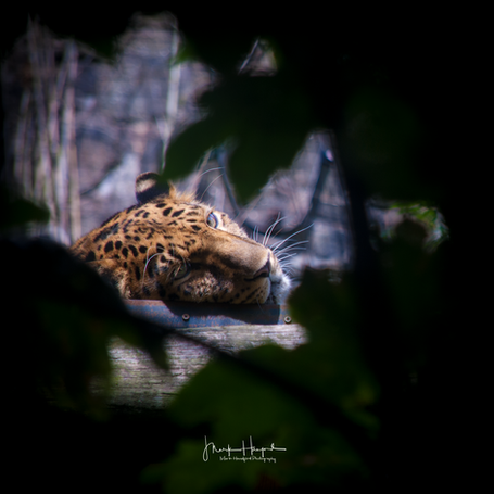 Jaguar keeping an eye