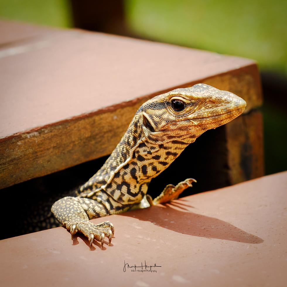 Sri Lanka Lizard