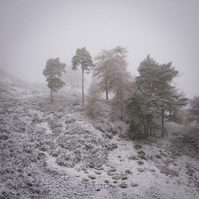 Scottish trees, snow and mist