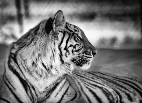 Tiger, Arizona Safari Park