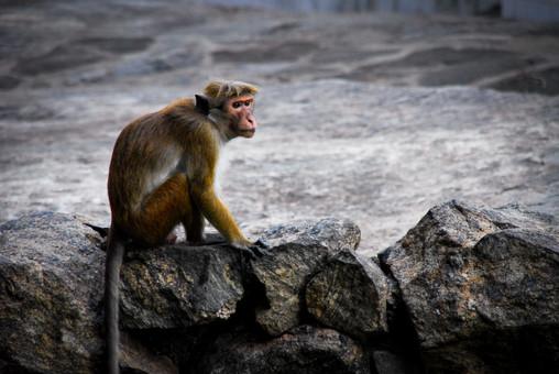 Sri Lanaka Monkey
