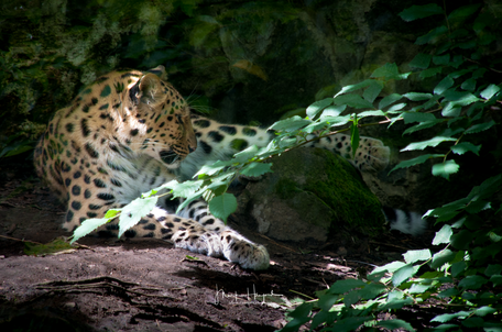 Leopard in the shade