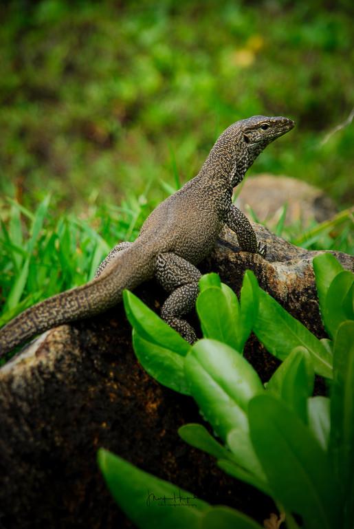 Lizard - Sri Lanka
