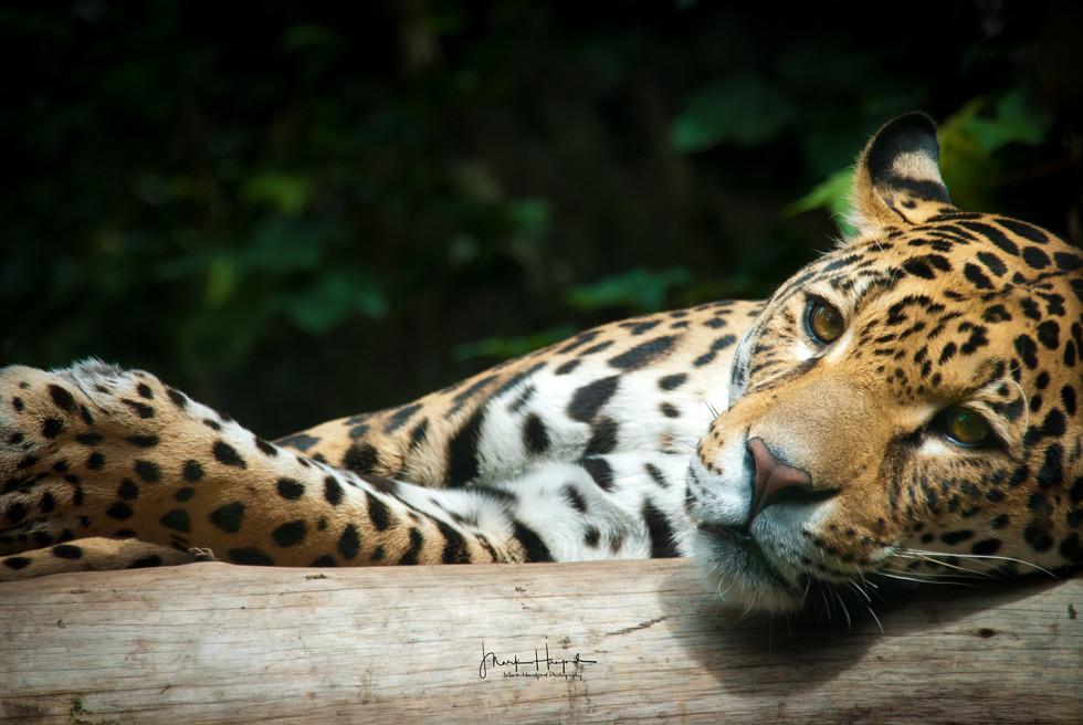 Jaguar 'Chilling'