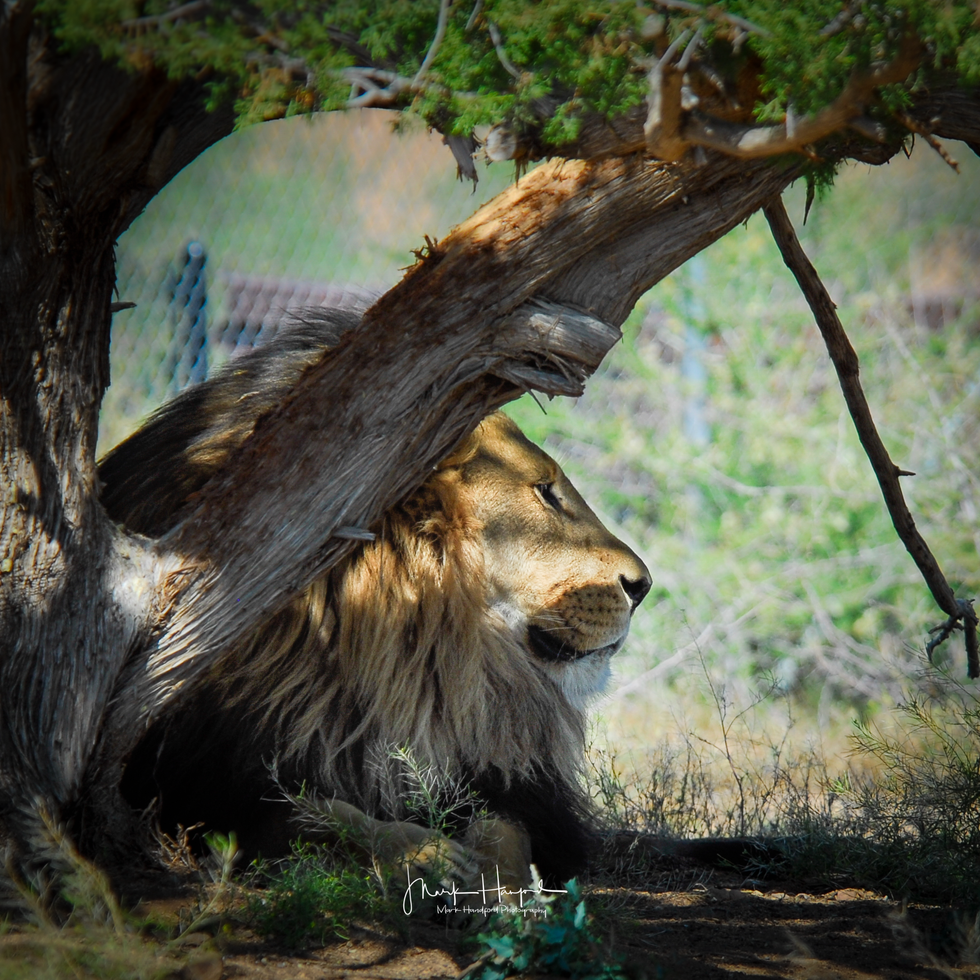 Lion maine