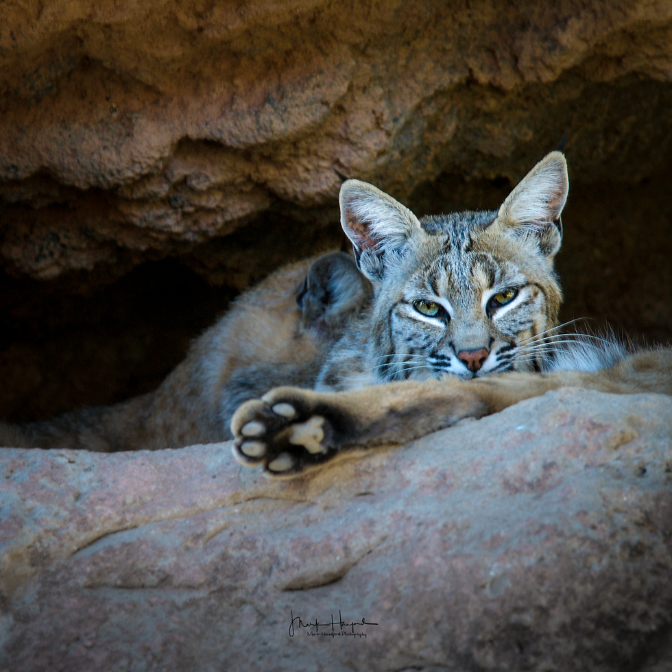 Bobcat crevis