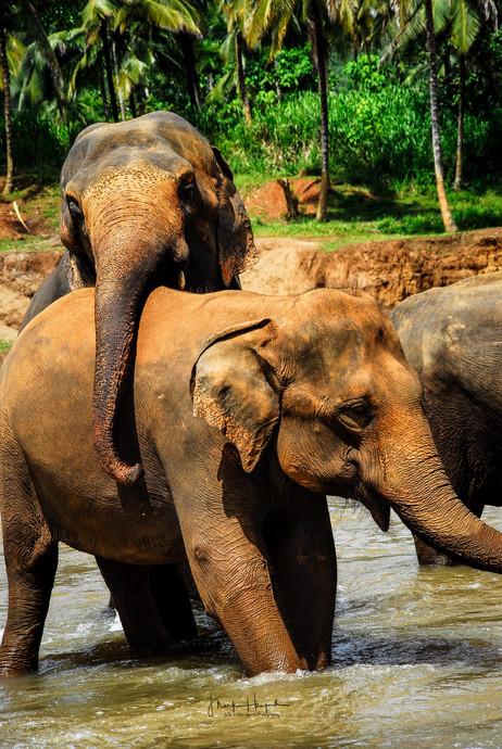Sri Lanaka Elephants on the river