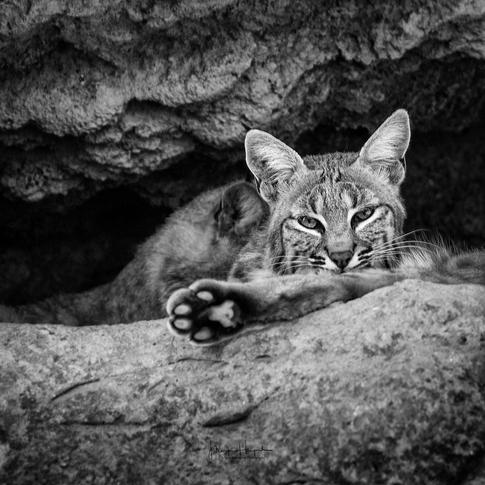 Bobcat USA