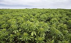 hemp-plantation.jpg