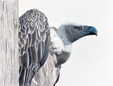 vulture lightroom brighter.jpg