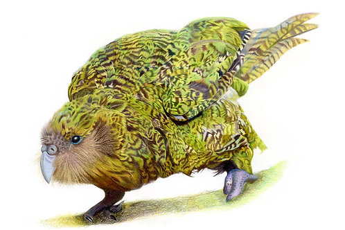 'Kenneth' the Kakapo Limited Edition Print