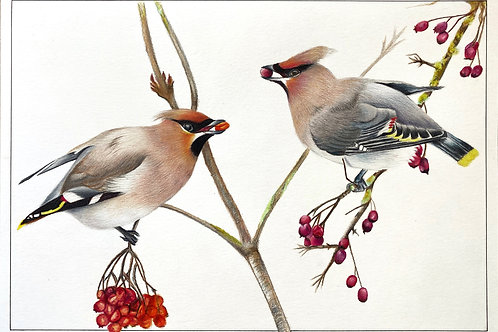 Bohemian Waxwing Limited Edition Print
