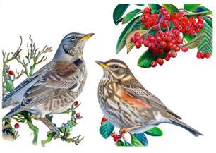 Winter friends: fieldfare and redwing