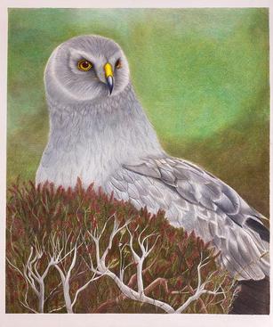 """The Grey Ghost"" Hen Harrier"