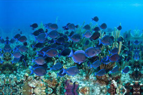 School of Fish by Coral Reef
