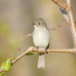 Moucherolle tchébec -  Least flycatcher