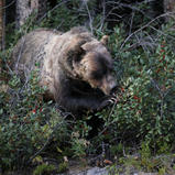 Grizzly Bear - Grizzli - Ursus arctos horribilis