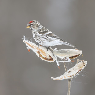 Sizerin flammé  -   Common redpoll