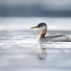 Grèbe jougris - Red-necked grebe