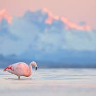 Flamant du Chili - Chilean flamingo