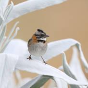 Bruant chingolo - Rufous-collared sparrow - Zonotrichia capensis