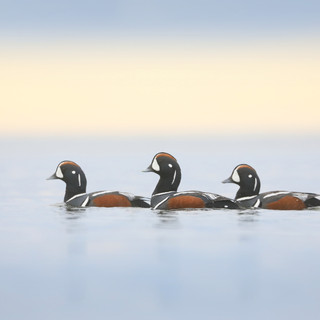 Arlequin plongeur - Harlequin duck