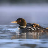 Plongeon huard - Common loon