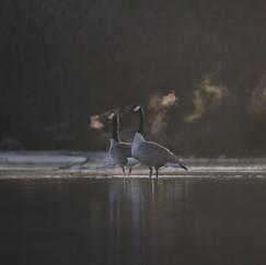 Bernaches du Canada  -  Canada goose