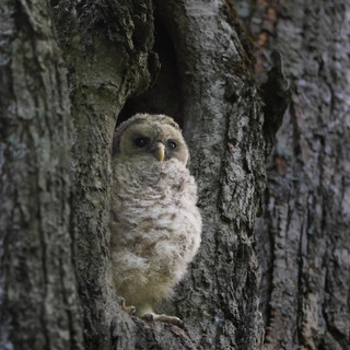 Chouette rayée  -  Barred owlet