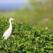 Héron garde-boeuf - Cattle egret