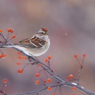 Bruant hudsonnien - Tree sparrow