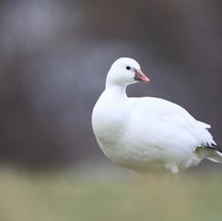 Oie de Ross - Ross's goose