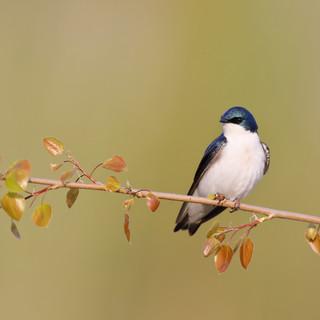 Hirondelle bicolore - Tree swallow- Tachycineta bicolor
