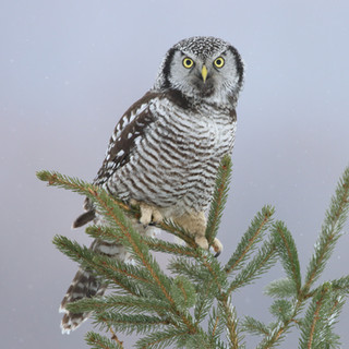Chouette épervière - Northern hawk-owl