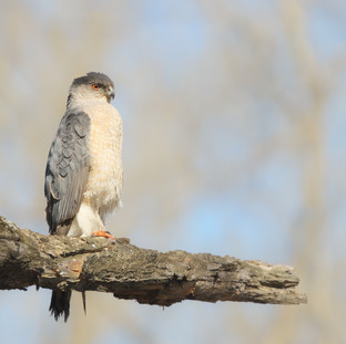 Épervier de cooper - Cooper's hawk
