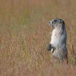Marmotte des Rocheuses - Hoary marmot