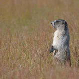 Marmotte des Rocheuses - Hoary marmot