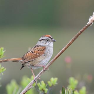 Bruant des marais - Swamp sparrow